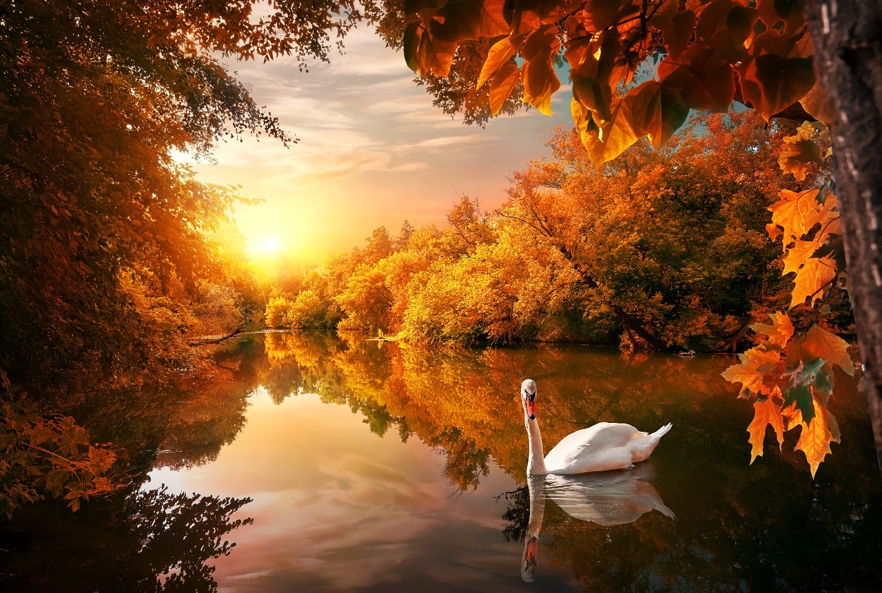 Swan on river at sunset